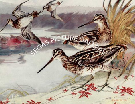 Fine Art Print of the Wilson Snipe by Charles Defeo (1891-1978)